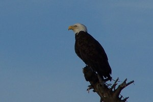 Bald Eagle in Ocean Shores